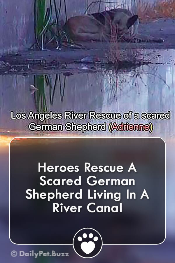 Heroes Rescue A Scared German Shepherd Living In A River Canal