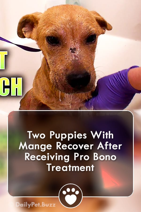 Two Puppies With Mange Recover After Receiving Pro Bono Treatment