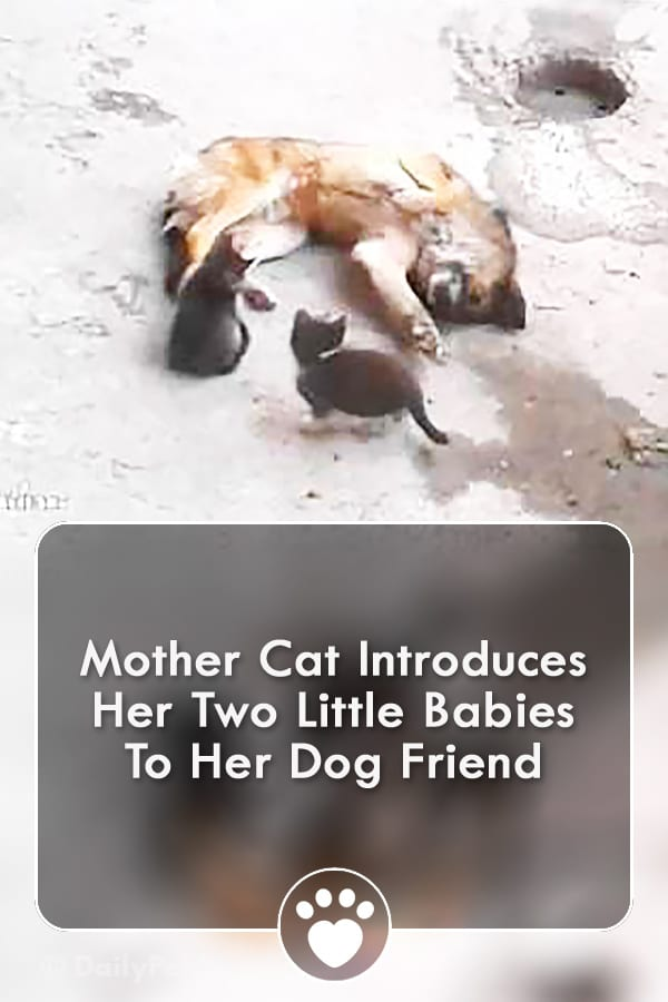 Mother Cat Introduces Her Two Little Babies To Her Dog Friend