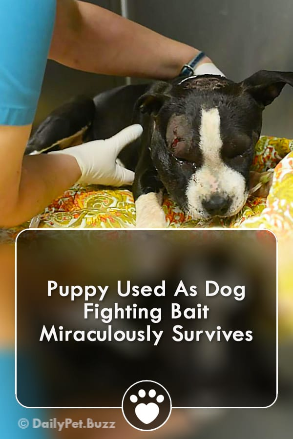 Puppy Used As Dog Fighting Bait Miraculously Survives