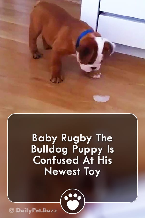 Baby Rugby The Bulldog Puppy Is Confused At His Newest Toy