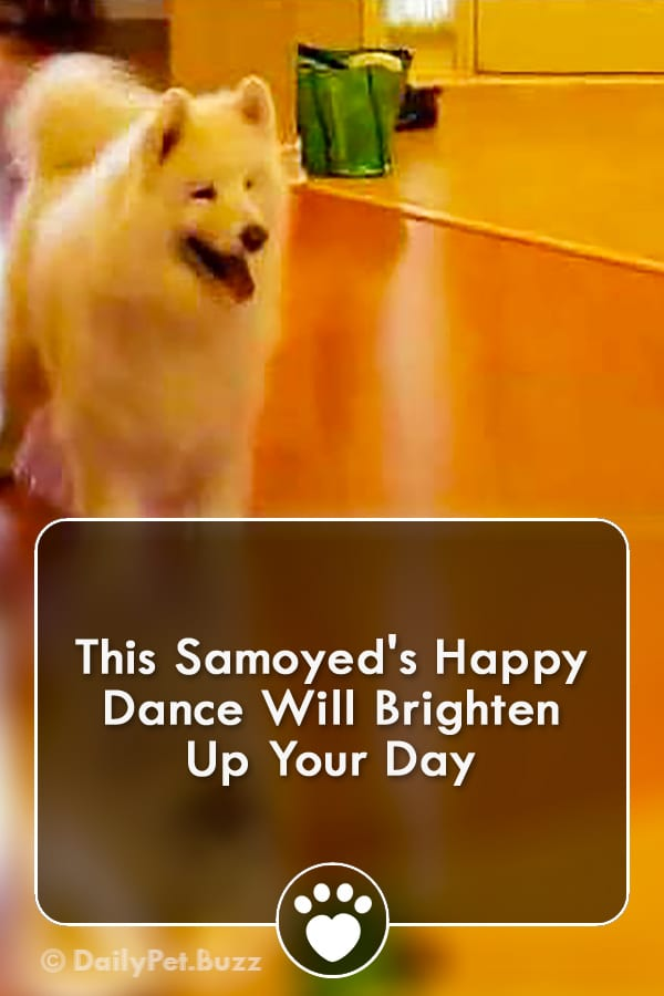 This Samoyed\'s Happy Dance Will Brighten Up Your Day