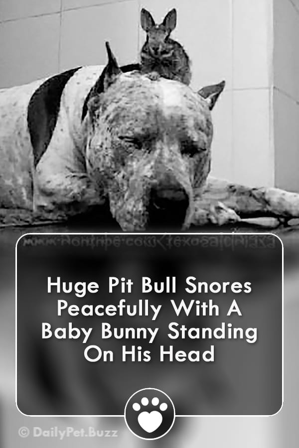 Huge Pit Bull Snores Peacefully With A Baby Bunny Standing On His Head