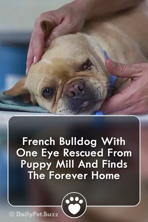 French Bulldog With One Eye Rescued From Puppy Mill And Finds The Forever Home
