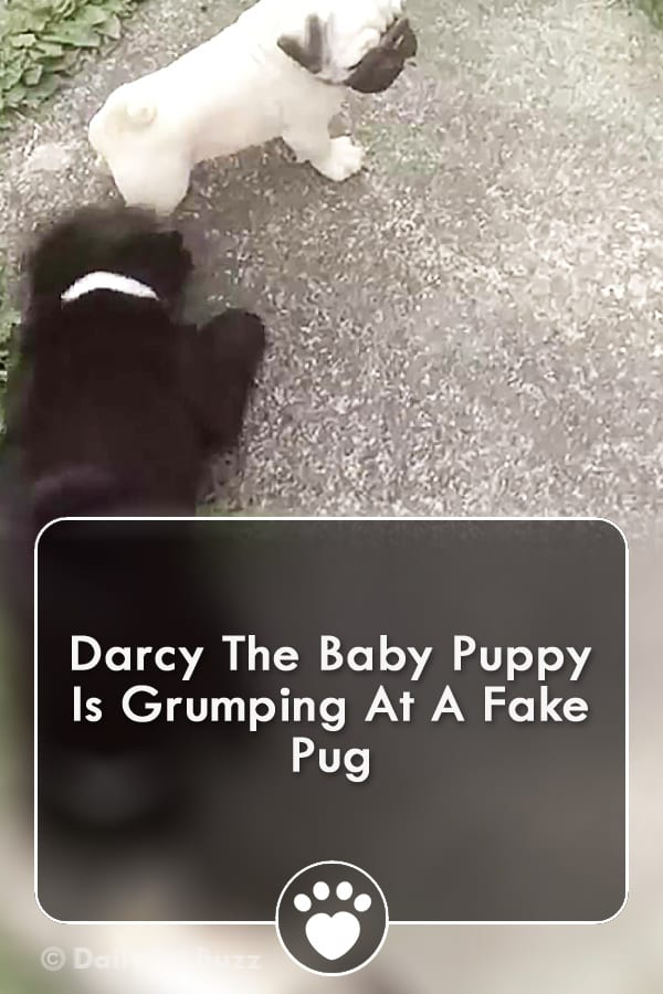 Darcy The Baby Puppy Is Grumping At A Fake Pug
