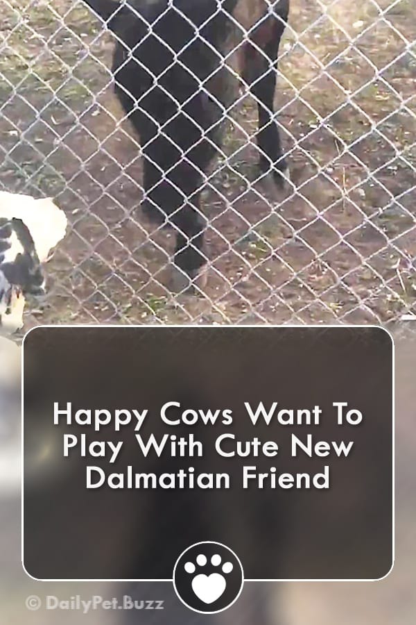 Happy Cows Want To Play With Cute New Dalmatian Friend