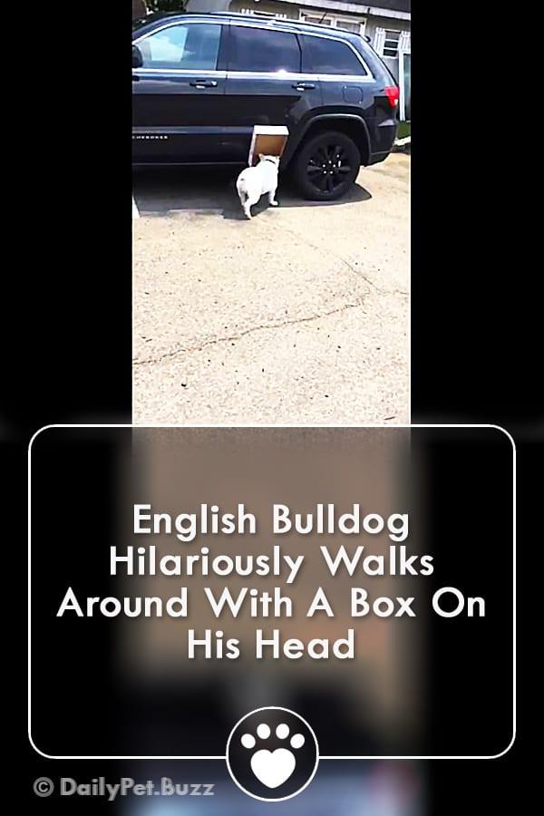 English Bulldog Hilariously Walks Around With A Box On His Head