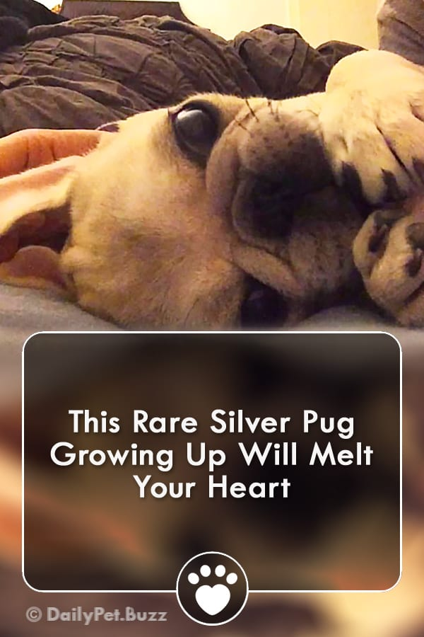 This Rare Silver Pug Growing Up Will Melt Your Heart