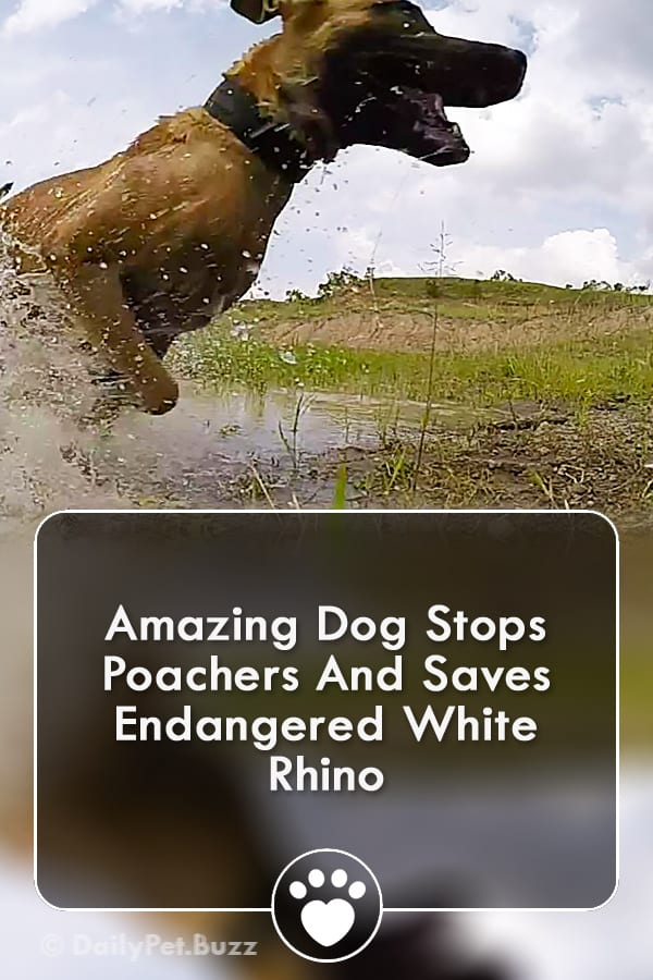 Amazing Dog Stops Poachers And Saves Endangered White Rhino