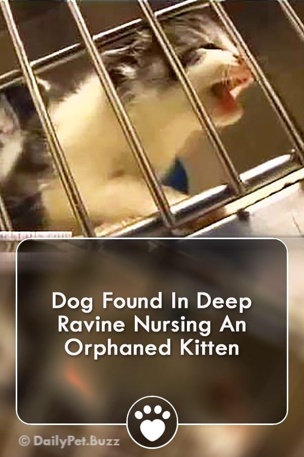 Dog Found In Deep Ravine Nursing An Orphaned Kitten
