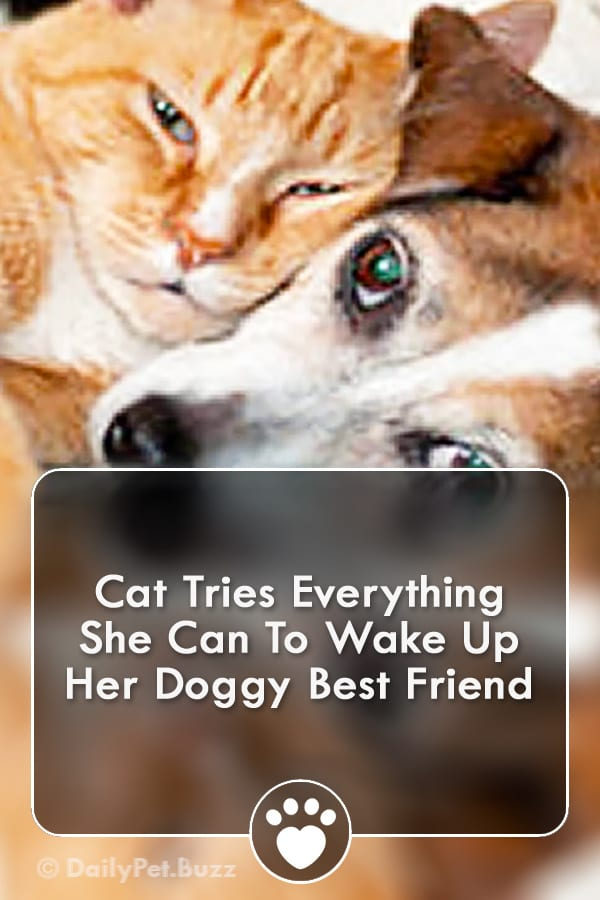 Cat Tries Everything She Can To Wake Up Her Doggy Best Friend