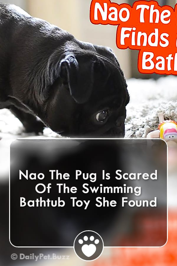 Nao The Pug Is Scared Of The Swimming Bathtub Toy She Found