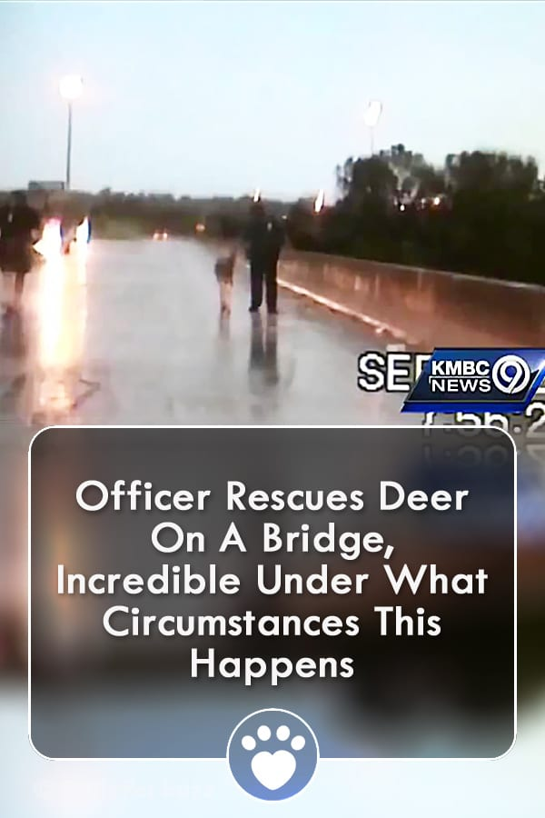 Officer Rescues Deer On A Bridge, Incredible Under What Circumstances THIS Happens
