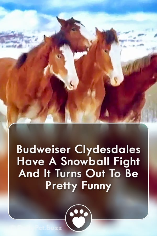 Budweiser Clydesdales Have A Snowball Fight And It Turns Out To Be Pretty Funny