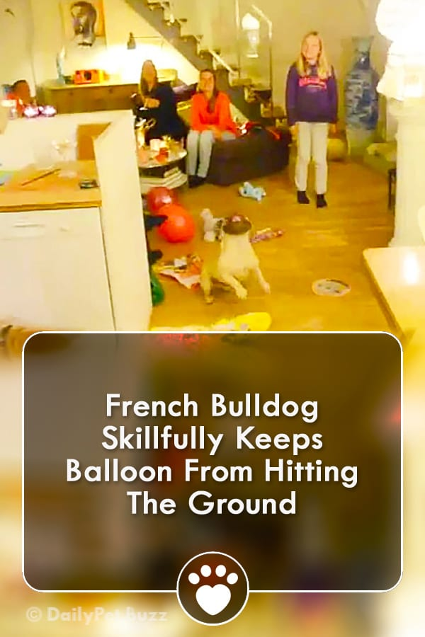 French Bulldog Skillfully Keeps Balloon From Hitting The Ground