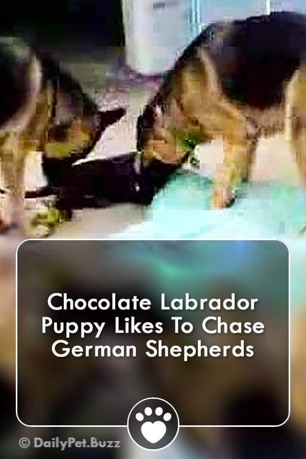 Chocolate Labrador Puppy Likes To Chase German Shepherds