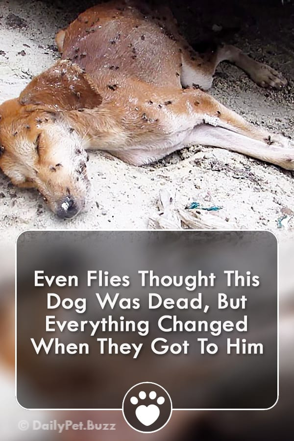 Even Flies Thought This Dog Was Dead, But Everything Changed When They Got To Him
