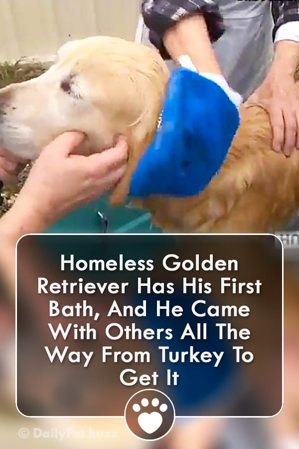 Homeless Golden Retriever Has His First Bath, And He Came With Others All The Way From Turkey To Get It