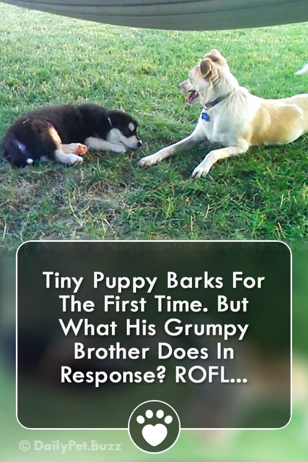 Tiny Puppy Barks For The First Time. But What His Grumpy Brother Does In Response? ROFL...