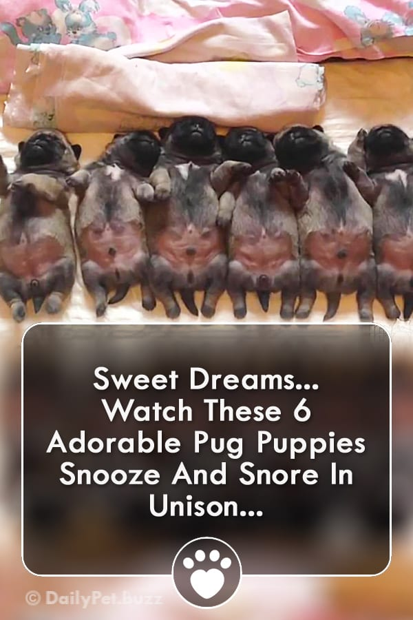 Sweet Dreams... Watch These 6 Adorable Pug Puppies Snooze And Snore In Unison...