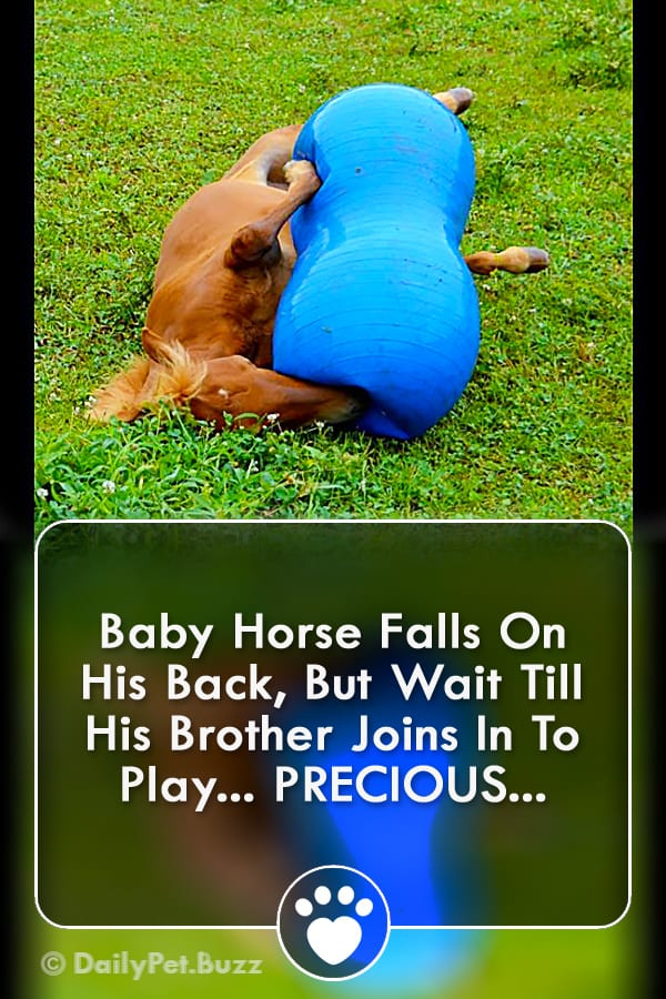Baby Horse Falls On His Back, But Wait Till His Brother Joins In To Play... PRECIOUS...
