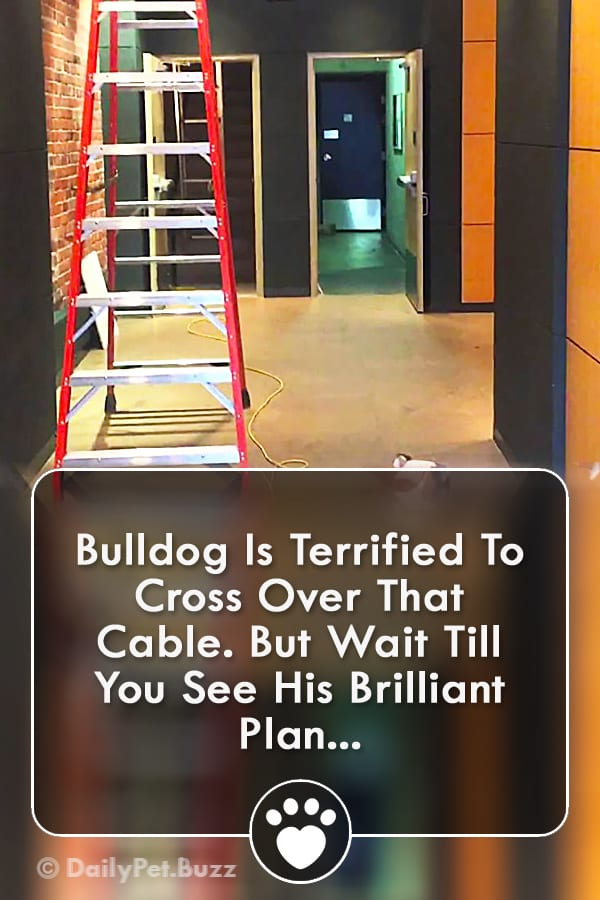 Bulldog Is Terrified To Cross Over That Cable. But Wait Till You See His Brilliant Plan...