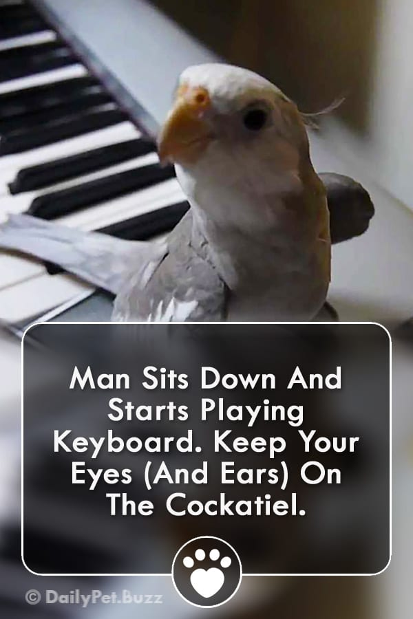 Man Sits Down And Starts Playing Keyboard. Keep Your Eyes (And Ears) On The Cockatiel.