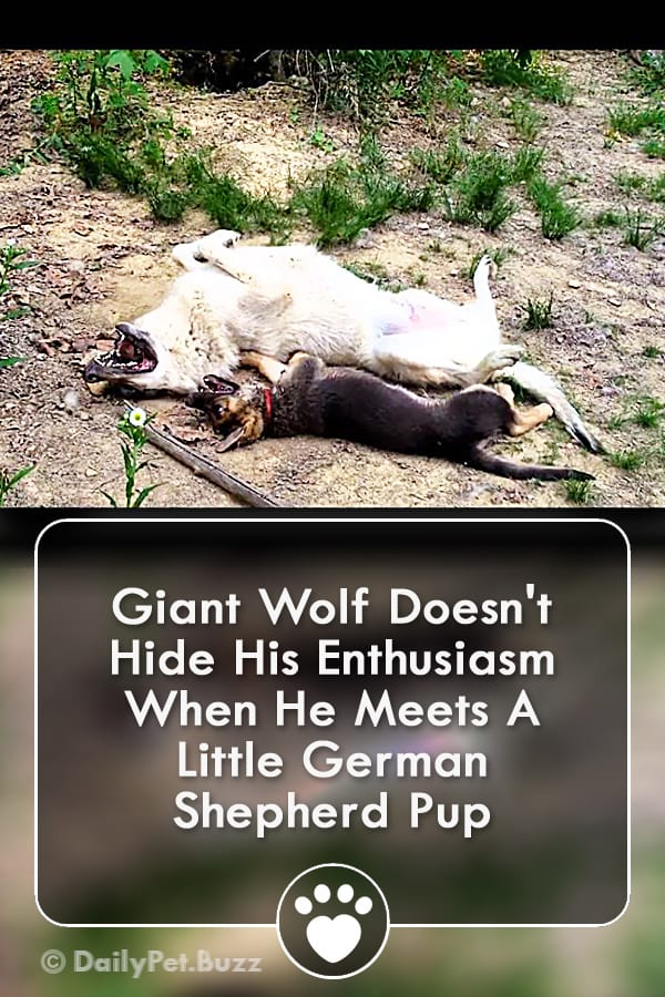 Giant Wolf Doesn\'t Hide His Enthusiasm When He Meets A Little German Shepherd Pup