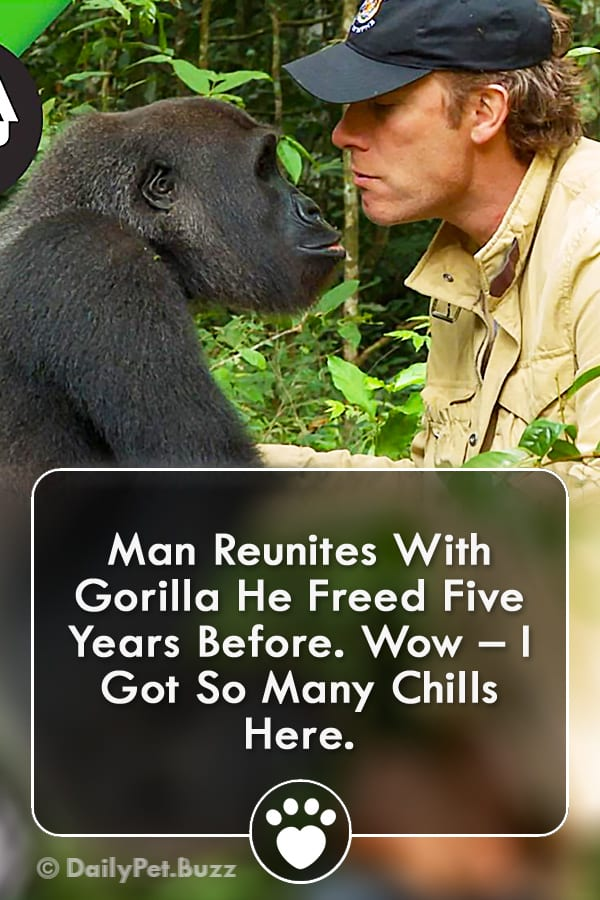 Man Reunites With Gorilla He Freed Five Years Before. Wow – I Got So Many Chills Here.