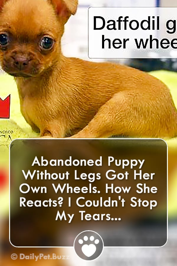 Abandoned Puppy Without Legs Got Her Own Wheels. How She Reacts? I Couldn\'t Stop My Tears...