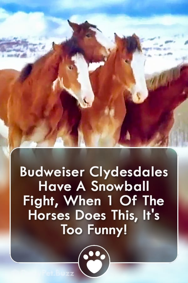 Budweiser Clydesdales Have A Snowball Fight, When 1 Of The Horses Does This, It\'s Too Funny!