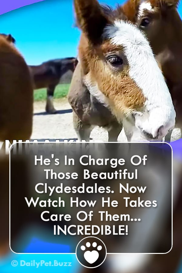 He\'s In Charge Of Those Beautiful Clydesdales. Now Watch How He Takes Care Of Them... INCREDIBLE!