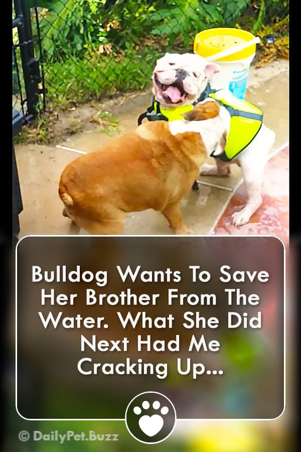 Bulldog Wants To Save Her Brother From The Water. What She Did Next Had Me Cracking Up...