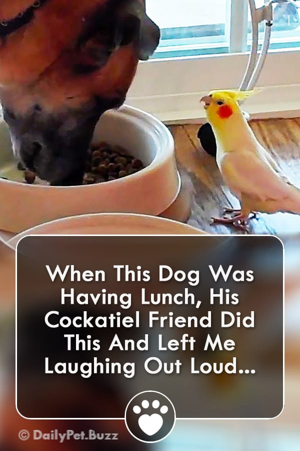 When This Dog Was Having Lunch, His Cockatiel Friend Did This And Left Me Laughing Out Loud...