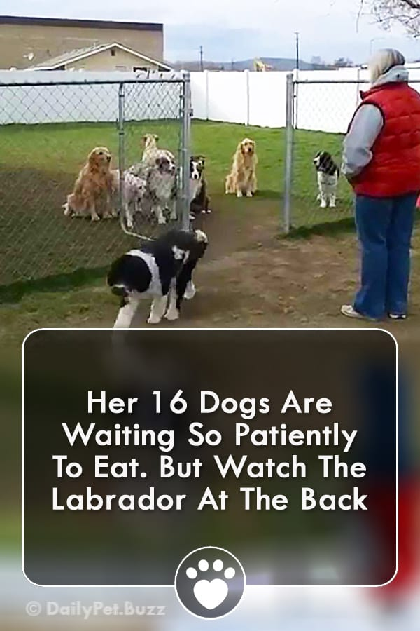 Her 16 Dogs Are Waiting So Patiently To Eat. But Watch The Labrador At The Back