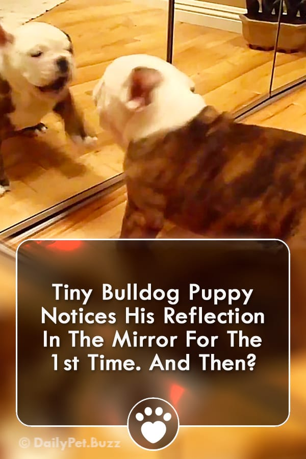 Tiny Bulldog Puppy Notices His Reflection In The Mirror For The 1st Time. And Then?