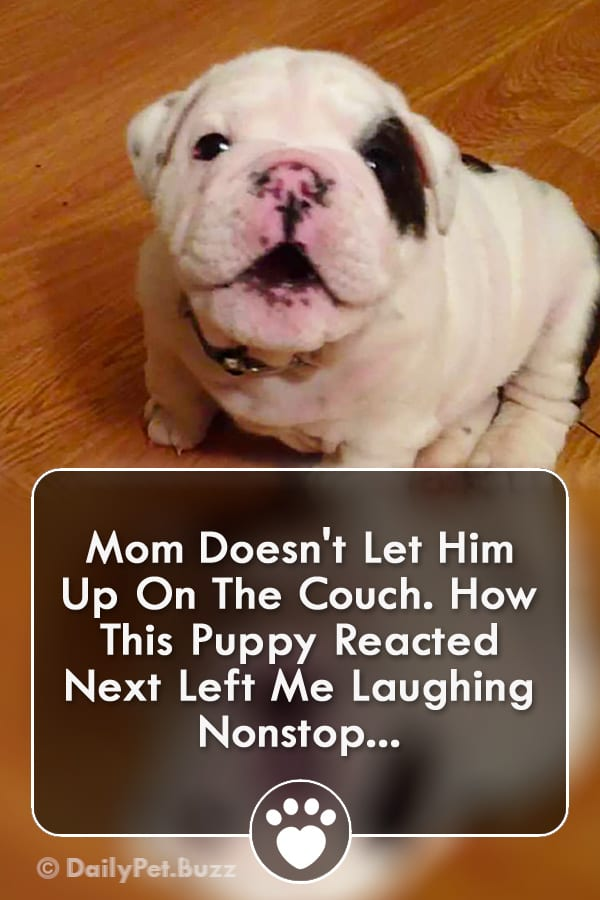 Mom Doesn\'t Let Him Up On The Couch. How This Puppy Reacted Next Left Me Laughing Nonstop...
