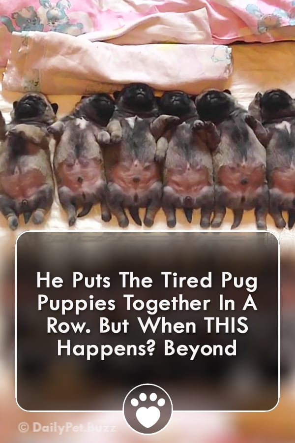 He Puts The Tired Pug Puppies Together In A Row. But When THIS Happens? Beyond