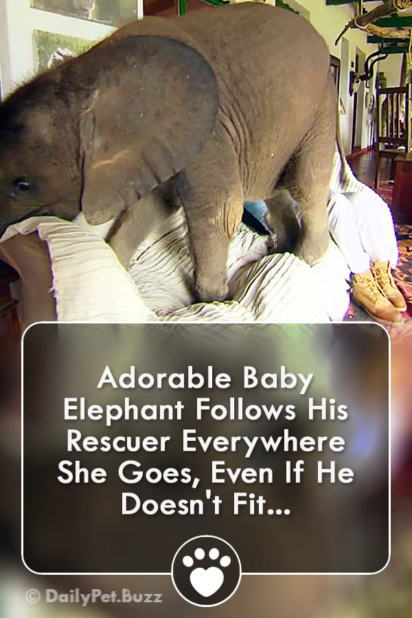Adorable Baby Elephant Follows His Rescuer Everywhere She Goes, Even If He Doesn\'t Fit...