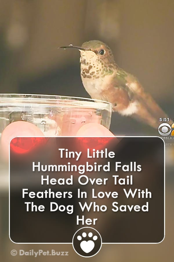 Tiny Little Hummingbird Falls Head Over Tail Feathers In Love With The Dog Who Saved Her