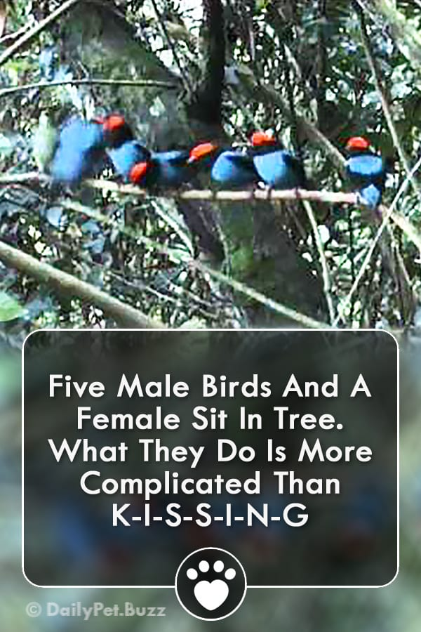 Five Male Birds And A Female Sit In Tree. What They Do Is More Complicated Than K-I-S-S-I-N-G