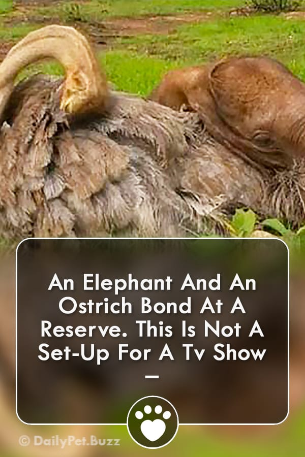An Elephant And An Ostrich Bond At A Reserve. This Is Not A Set-Up For A Tv Show –