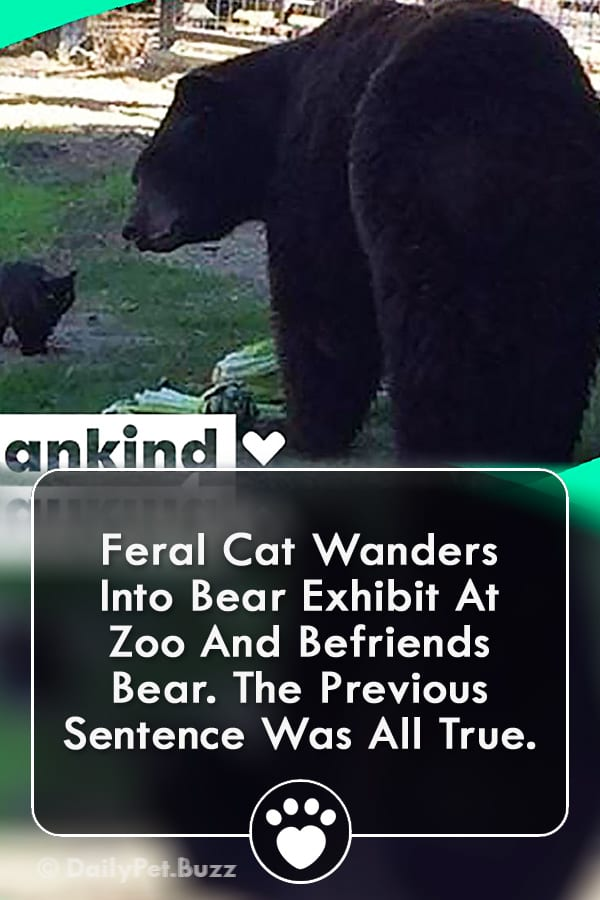Feral Cat Wanders Into Bear Exhibit At Zoo And Befriends Bear. The Previous Sentence Was All True.