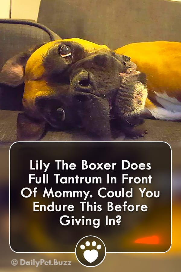 Lily The Boxer Does Full Tantrum In Front Of Mommy. Could You Endure This Before Giving In?