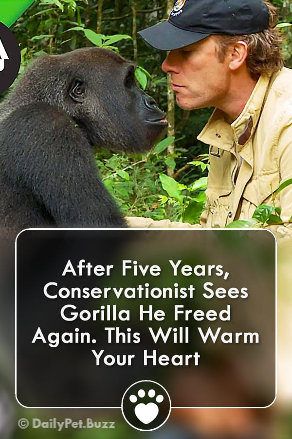 After Five Years, Conservationist Sees Gorilla He Freed Again. This Will Warm Your Heart