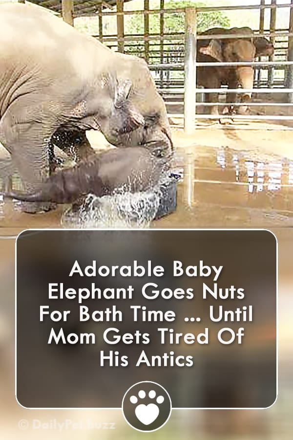 Adorable Baby Elephant Goes Nuts For Bath Time ... Until Mom Gets Tired Of His Antics