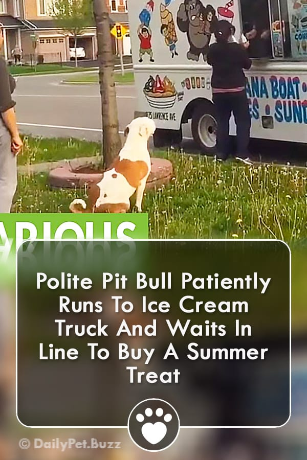 Polite Pit Bull Patiently Runs To Ice Cream Truck And Waits In Line To Buy A Summer Treat