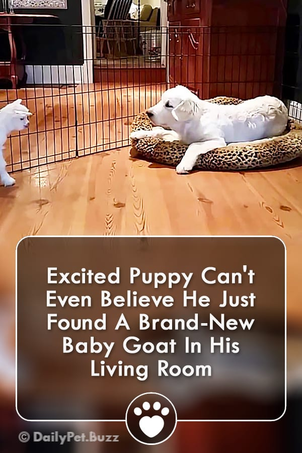 Excited Puppy Can\'t Even Believe He Just Found A Brand-New Baby Goat In His Living Room