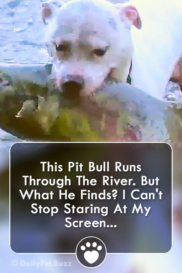 This Pit Bull Runs Through The River. But What He Finds? I Can\'t Stop Staring At My Screen...