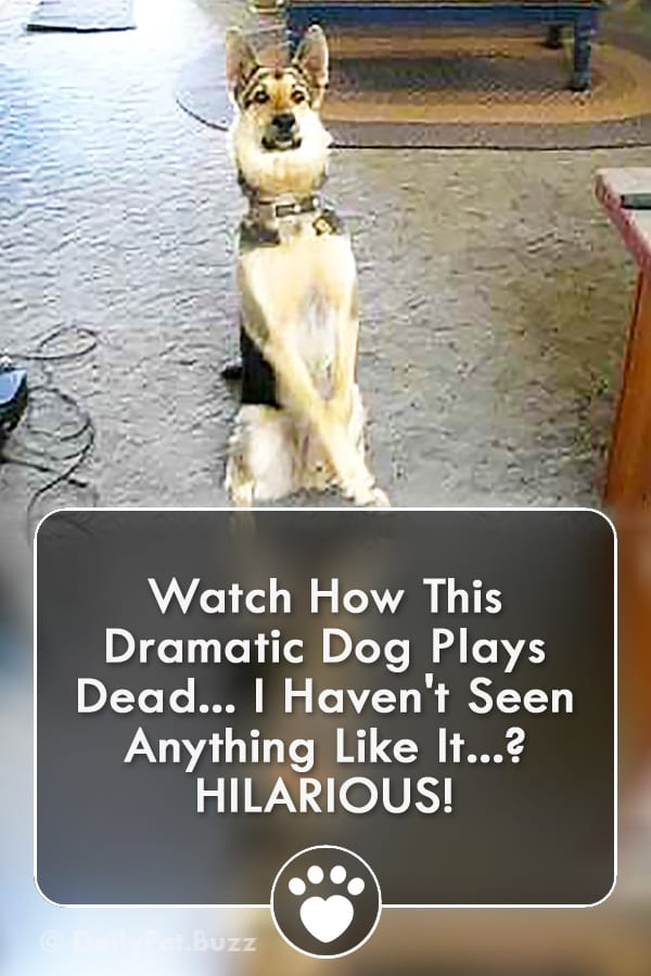 Watch How This Dramatic Dog Plays Dead... I Haven\'t Seen Anything Like It? HILARIOUS!